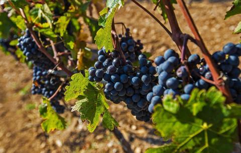 Минсельхоз Крыма в полном объеме освоил средства господдержки отрасли виноградарства