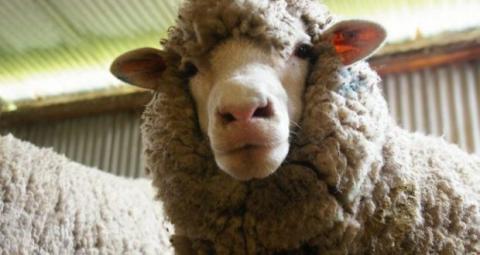 В Республике Крым стартовал сезон стрижки овец