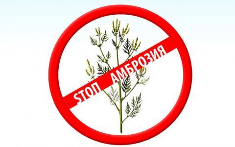 В Крыму третий год подряд будет проходить акция «Война амброзии»