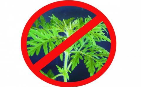 ВНИМАНИЕ! АМБРОЗИЯ ПОЛЫННОЛИСТНАЯ (Ambrosia artemisiifolia L.)